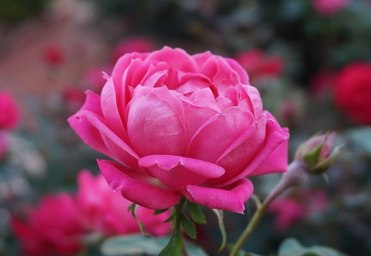 Most Beautiful Roses Flowers