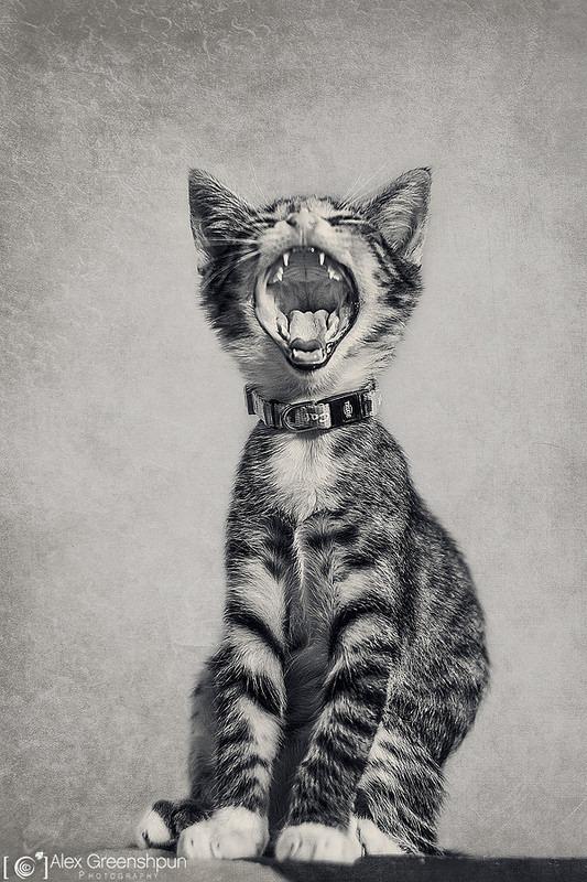 Alex Greenshpun – Behold, the Mighty Tiger!