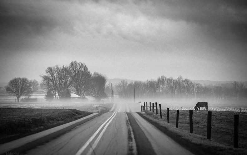 Jennifer MacNeill – Cow in The Fog
