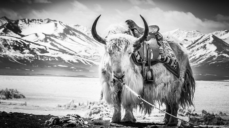Sherrin Lim – Portrait of a yak
